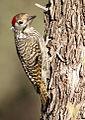 Cardinal Woodpecker - MALE, Dendropicos fuscescens at Pilanesberg National Park, Northwest Province, South Africa (15091962675).jpg
