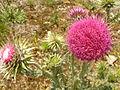 Carduus nutans 1.jpg