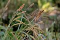Carex flacca (7313682950).jpg