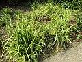 Carex pendula plant (39) 'Moonraker'.jpg