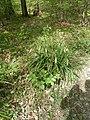 Carex pendula plant (6).jpg