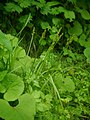 Carex stipata ookawazusg02.jpg