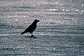 Carrion Crow, Fulda, Germany (17064857088).jpg