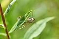 Carrot Seed Moth (Sitochroa palealis) (14490672509).jpg