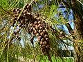 Casuarina cunninghamiana fruit (3).jpg