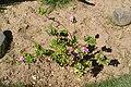 Catharanthus roseus in Makadi Bay.jpg