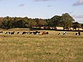 Cattle at Walwick - geograph.org.uk - 1018361.jpg