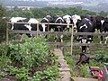 Cattle in a field off Billinge End Road, Blackburn with Darwen, Lancashishire.jpg