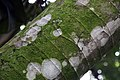 Cecropia obtusifolia 26zz.jpg
