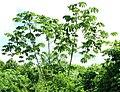 Cecropia peltata-cluster.jpg