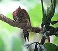 Celeus loricatus Carpintero canelo Cinnamon Woodpecker (male) (12219848715).jpg