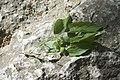 Celtis tournefortii subsp. aetnensis-2701.jpg