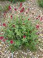Centranthus ruber red - Flickr - peganum.jpg