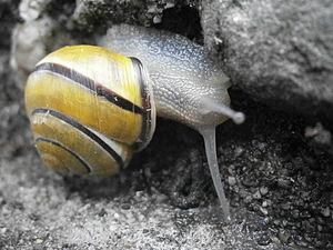 Grove snail - Cepaea nemoralis photographed in Rhode Island