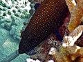 Cephalopholis argus Maldives.JPG