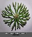 Ceratophyllum demersum s. str. sl2.jpg