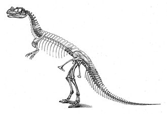Ceratosaurus - C. nasicornis skeleton restoration by Othniel Charles Marsh from 1892, depicted in an erroneous upright position and with excess vertebrae in the spine resulting in an overly elongated trunk