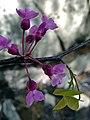 Cercis canadensis - Eastern Redbud 3.jpg