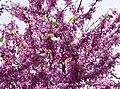 Cercis siliquastrum - Judas tree 08.jpg
