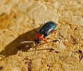 Cereal Leaf Beetle. Chrysomelidae. Oulema melanopus - duftschmidi. - Flickr - gailhampshire.jpg