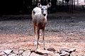 Cervus unicolor (Sambar deer) at IGZoo Visakhapatnam 03.JPG