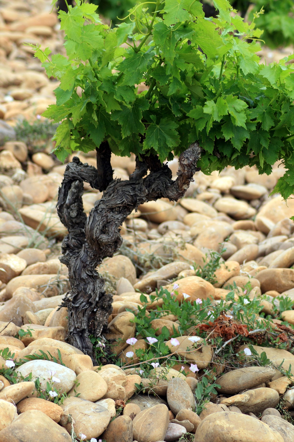 Chateauneuf-du-Pape galets