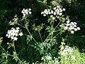 Chaerophyllum bulbosum sl30.jpg