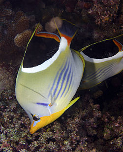 Chaetodon ephippium Saddle Butterflyfish Fiji by Nick Hobgood,.jpg