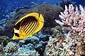 Chaetodon fasciatus Red Sea.jpg