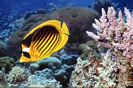 Chaetodon fasciatus Red Sea.jpg