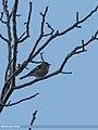 Chaffinch (Fringilla coelebs) (23551591144).jpg