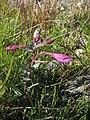 Chamerion latifolium upernavik kujalleq 2007-07-25 1.jpg