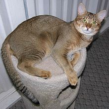 Adult Chausie of the black ticked tabby variety.