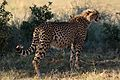Cheetah, Acinonyx jubatus, at Pilanesberg National Park, Northwest Province, South Africa. (27309002270).jpg