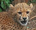 Cheetah cub close-up edit2.jpg