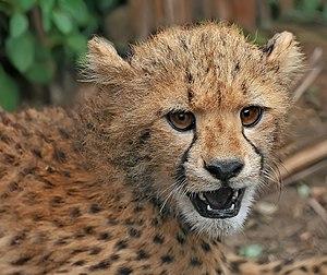 English: A close-up view of a Cheetah Acinonyx...
