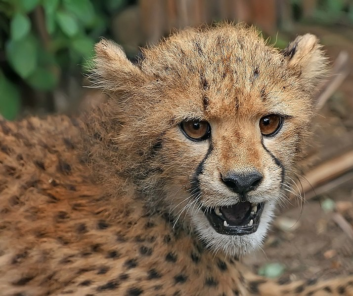 चित्र:Cheetah cub close-up edit2.jpg