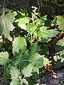 Chenopodium murale sl61.jpg