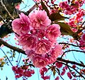 Cherry Blossom - Flickr - SurFeRGiRL30.jpg