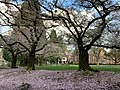 Cherry Blossoms at Reed College.jpg