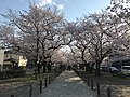 Cherry blossoms near Zasshonokuma Station 20190401-10.jpg