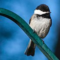 Chickadee (14137184494).jpg