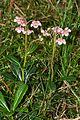 Chimaphila2.jpg