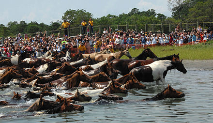 The annual Chincoteague Pony Swim features over 200 wild ponies swimming across the Assateague Channel into Chincoteague. Chincoteague pony swim 2007.jpg