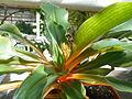 Chlorophytum orchidastrum 2016-04-22 8369.JPG