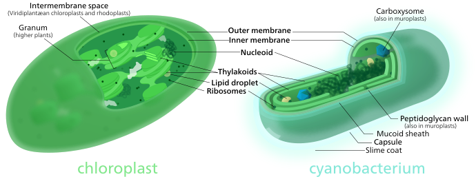 Both chloroplasts and cyanobacteria have a double membrane, DNA, ribosomes, and thylakoids.