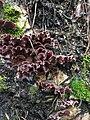 Chondrostereum purpureum 60777189.jpg