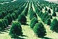 Christmas tree farm IA.JPG