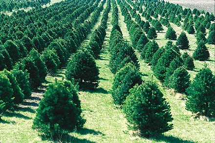 This Christmas tree farm in Iowa is located on flat ground and has well-mowed rows between the trees.