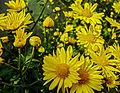 Chrysanthemum indicum 17122010.jpg